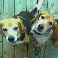 The Knitting Beagle