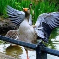 child_duckling